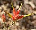 Castilleja linariifolia 9.jpg