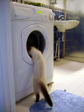 Cat investigates washing machine 2003-07-03.png