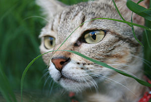 A cat lurking in the grass.