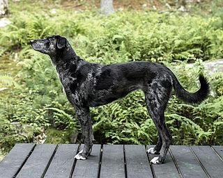 Louisiana Catahoula Leopard dog Dog breed