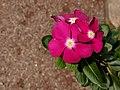 Catharanthus roseus 002.jpg