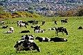 Cattle, Ballymiscaw near Belfast (2) - geograph.org.uk - 1854394.jpg