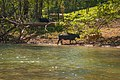 Cattle at the Maury River, Lexington, Virginia.jpg