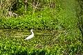 Cattle egret (41550254231).jpg