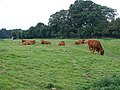 Cattle on Mill Common - geograph.org.uk - 1018284.jpg