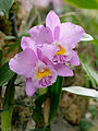 Cattleya Beaumesnil Parme 1001 Orchids.jpg