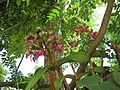 Cattleya leopoldii 01.JPG
