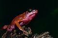 Cayenne Stubfoot Toad (Atelopus flavescens) (10745450425).jpg