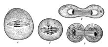 Деление клеток по Э. Страсбургеру (1875)