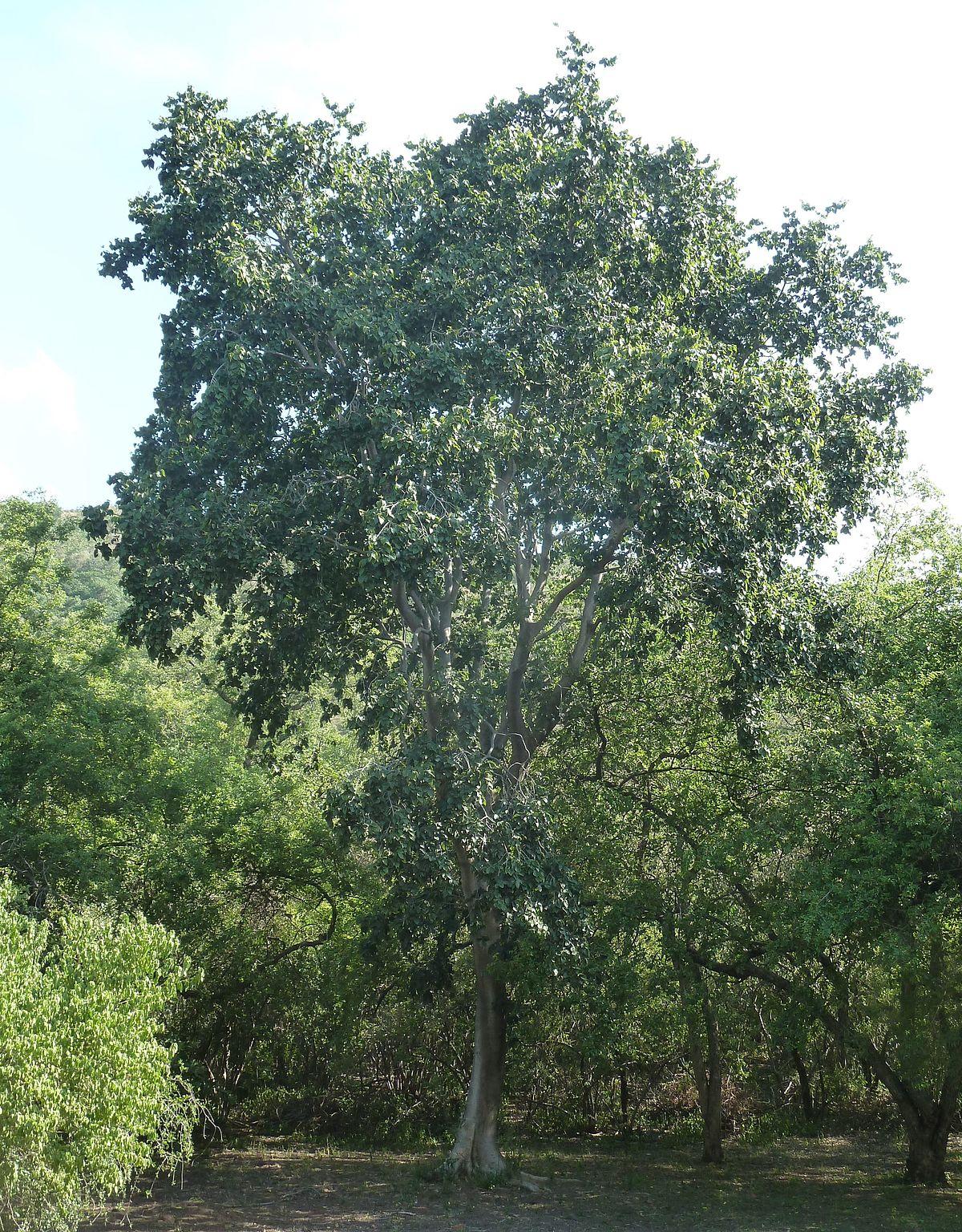 Celtis africana - Wikipedia