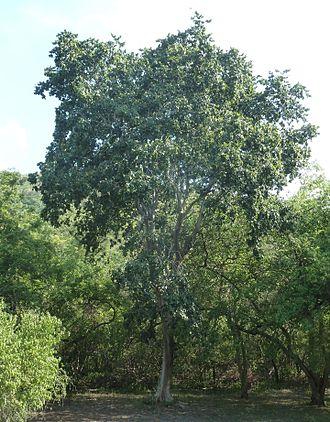 Celtis africana - Image: Celtis africana, habitus, Wonderboom NR, a