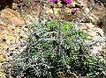 Centaurea ucriae.jpg
