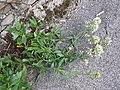 Centranthus ruber sl2.jpg