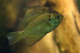 Centrarchus macropterus 01