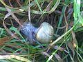 Cepaea nemoralis - wetland 2.jpg