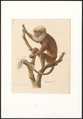 Cephalopterus pallidus - 1749-1842 - Print - Iconographia Zoologica - Special Collections University of Amsterdam - UBA01 IZA1000057.tif