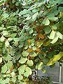 Ceratonia siliqua Habitus Bln0906a.JPG