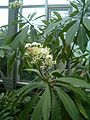 Cerbera manghas BotGardBln07122011C.JPG