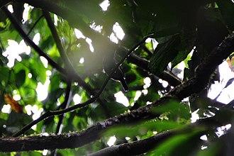 Grey antbird - Image: Cercomacra cinerascens cinerascens in Anangu Preserve, Upper Amazon, Ecuador