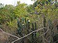 Cereus ¿ hildmannianus ? (8592887032).jpg