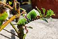 Cerura vinula caterpillar 4.jpg