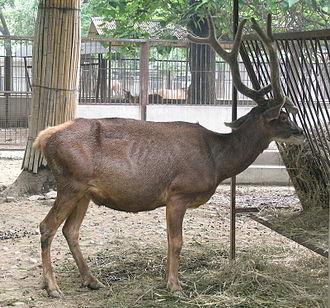 Thorold's deer - Male Thorold's deer