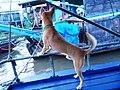 Chó cỏ ở Cần Thơ (chợ nổi) năm 2014 (1a) (2).JPG