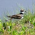 Charadrius vociferus (Killdeer) in Sanibel Island 06.jpg