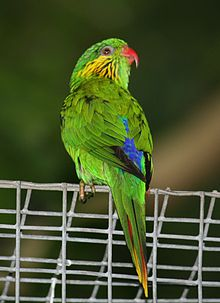 Charmosyna placentis -Louisville Zoo -female-8a.jpg