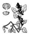 Chenopodium vulvaria illustration (3).png