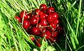 Cherries on grass.jpg