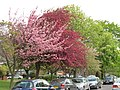 Cherry, hawthorn and horse chestnut blossom - geograph.org.uk - 1839996.jpg