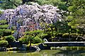 Cherry Tree in Imperial Palace Garden - panoramio.jpg