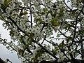Cherry blossoms Slovenia.jpg