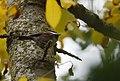 Chestnut-backed Chickadee (30681104877).jpg