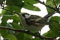 Chestnut-sided Warbler (male) Sabine Woods TX 2018-04-22 14-05-27 (40185425710).jpg