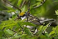 Chestnut-sided Warbler (male) Sabine Woods TX 2018-04-28 07-15-32 (42154071802).jpg