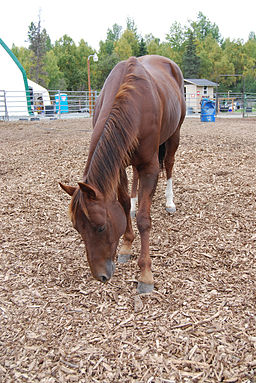 Chestnut Horse Bowing
