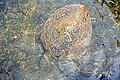 Chile-02820 - Sea Turtle (49072782976).jpg