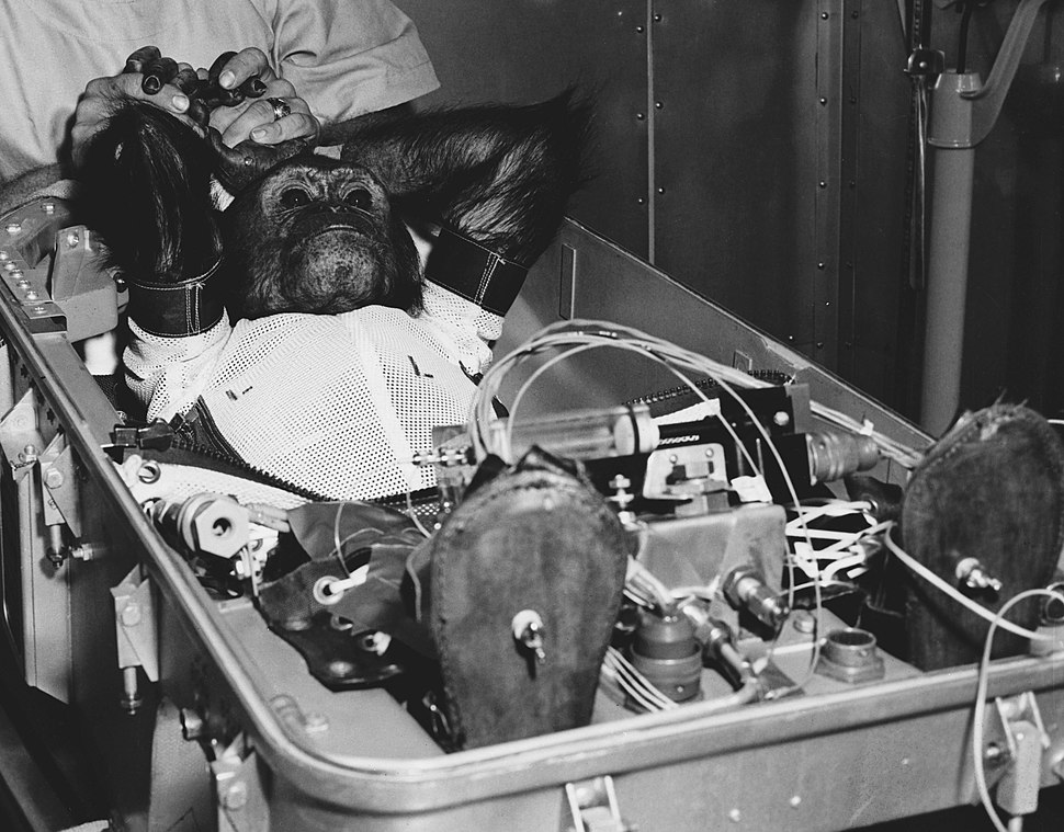 Chimpanzee Enos before the flight of Mercury-Atlas 5 (cropped)