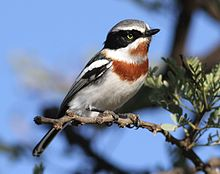 Chinspot batis, Batis molitor, at Pilanesberg National Park, Northwest Province, South Africa (28202590270), crop.jpg
