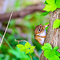 Chipmunk on the side of a tree.jpg