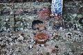 Chittenden Locks during large lock maintenance 006 - sea anemones.jpg