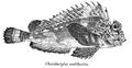 Choridactylus multibarbus Day.png