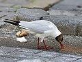 Chroicocephalus ridibundus (feeding).jpg