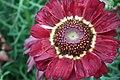 Chrysanthemum from lalbagh7259.JPG