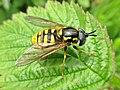 Chrysotoxum cautum (Syrphidae) - (imago), Elst (Gld), the Netherlands.jpg
