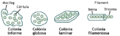 Cianobacteris formes.png