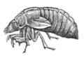 Cicada-larva-after-Smith-1893.png