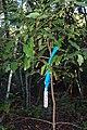 Cinnamomum oliveri - Seven Mile Beach.JPG
